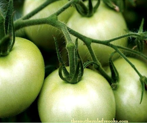 FALL GREEN TOMATOES: Tips, Recipes and Nutrition